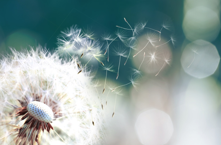 Dandelion weed shedding seeds
